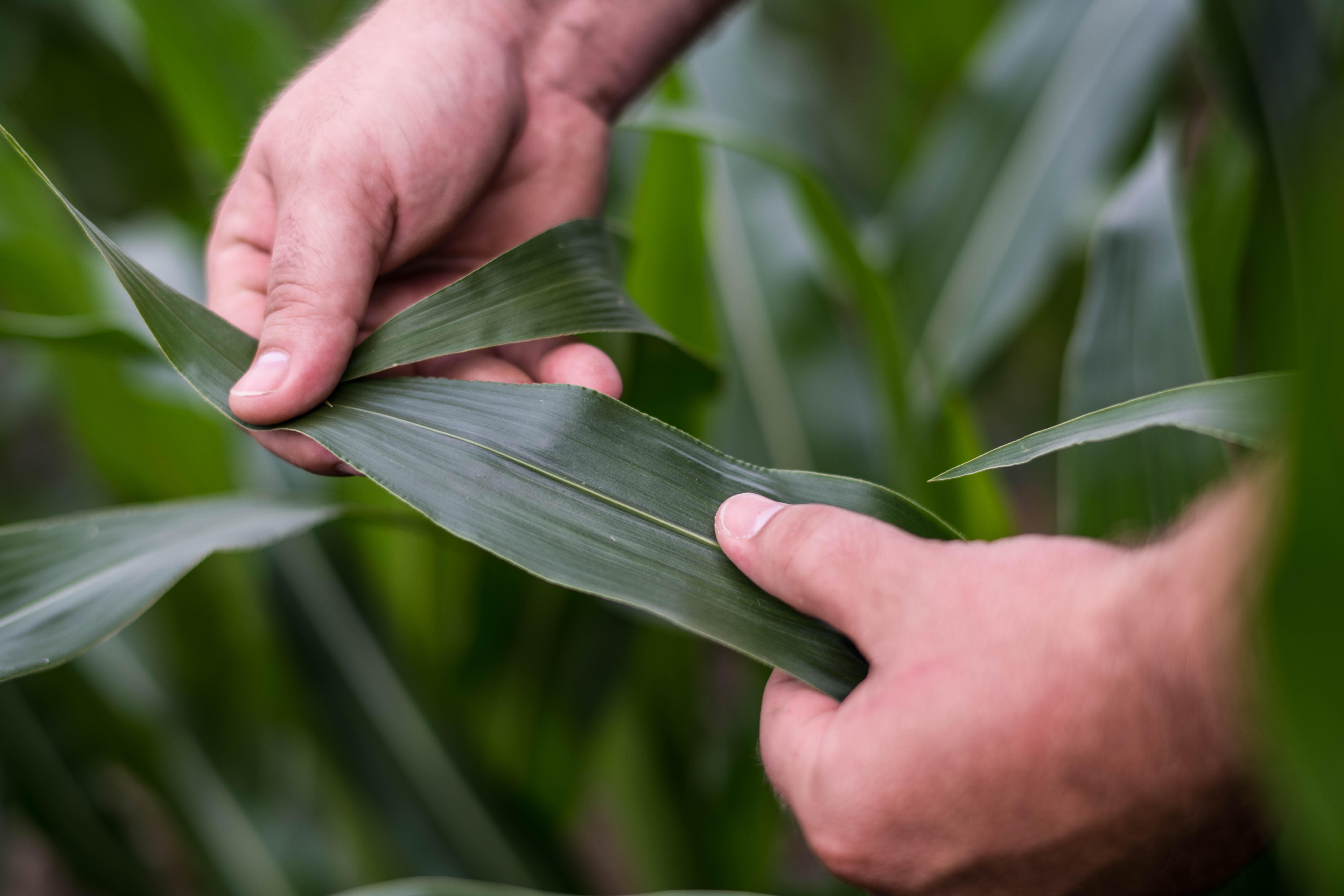 healthy corn leaf
