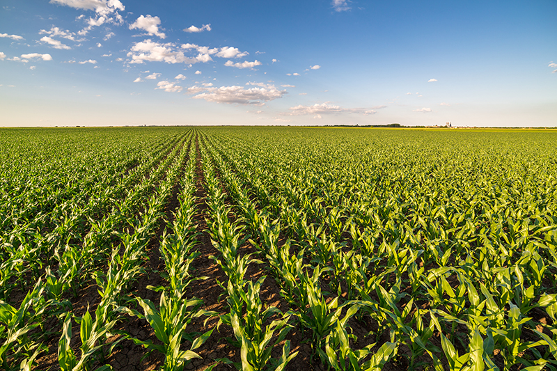 growing field corn in early stages