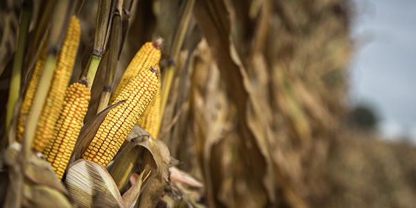 corn and soybean crop progress
