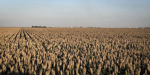corn, soybeans, corn harvest