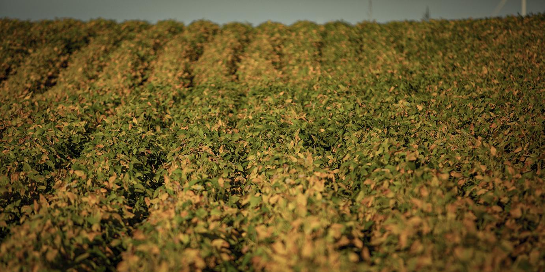 soybean rust_600x300